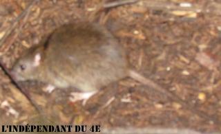 Lindependantdu4e_rats_IMG_7509