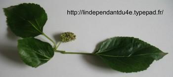 Lindependantdu4e_murier_blanc_img_3